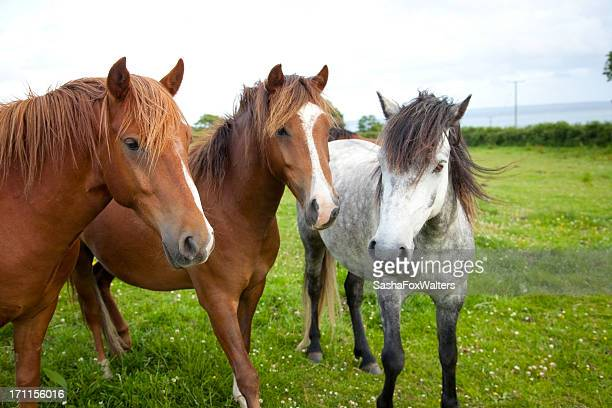ponies in a paddock