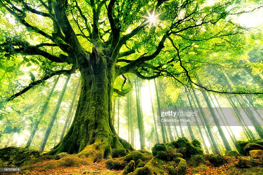 Ponthus' Beech : Stock Photo