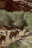 A team of pack horses delivering mail to Supai, Arizona on the Havasupai Indian Reservation