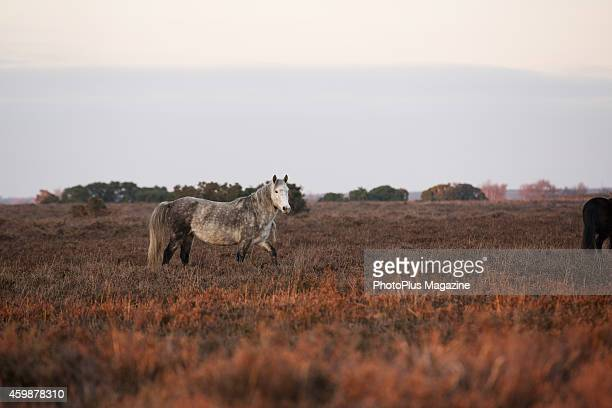 A pony grazing in New Forest National Park in Hampshire taken on November 26 2013
