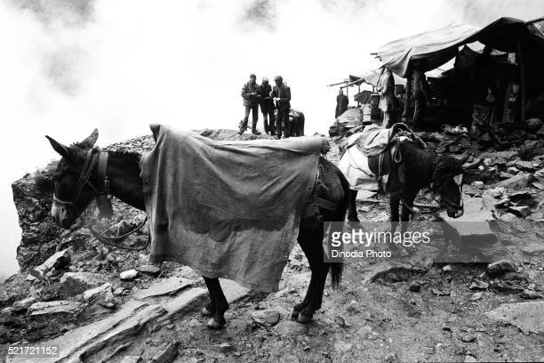 Pony in raincoat Valley of Flowers Ghangaria, Garhwal, Uttarakhand, India, Asia, 1978