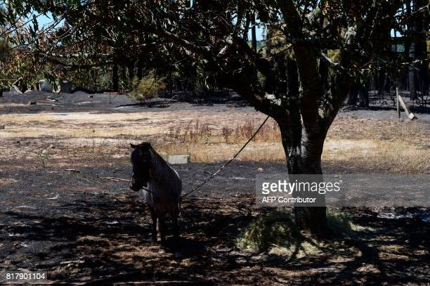 A pony stands tied to a tree on a burnt area following a wildfire in Vila Cha near Alijo on July 18 2017 A month after the deadliest forest fire in...