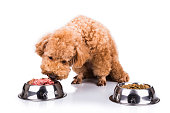Poodle dog chooses delicious and nutritious raw meat over kibbles as meal