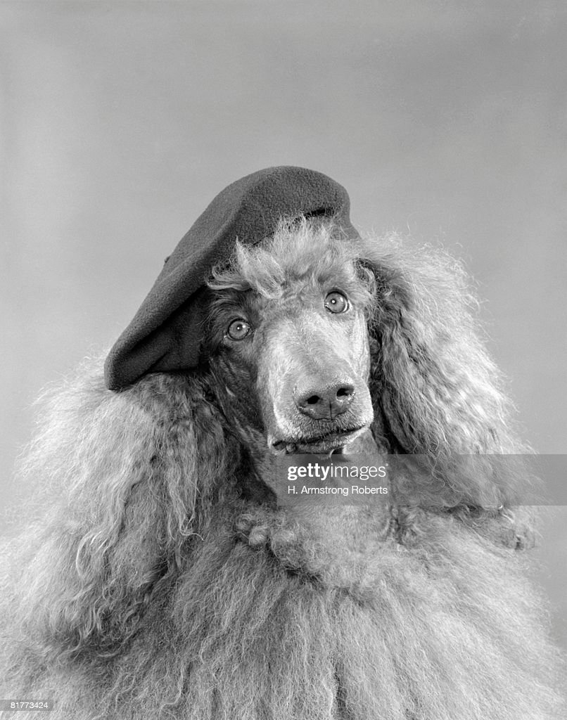 Poodle Dog Head Shot Or Portrait Wearing A French Beret With Long Curly Light Colored Hair  : Stock Photo