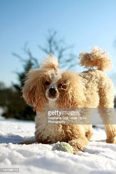 Poodle dog playing