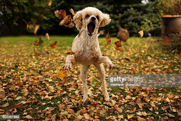 Poodle dog playing with autumn leaves in garden