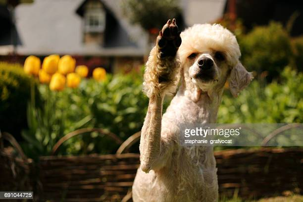 Poodle dog with it's paw in the air