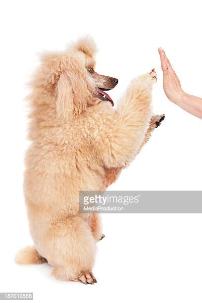 poodle doing a high five trick