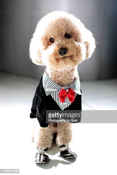 Poodle dress like ittle gentleman