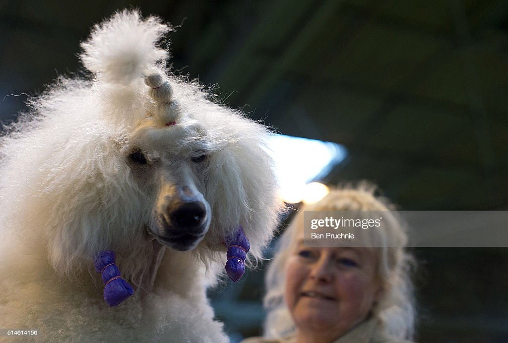 how to register a poodle for show