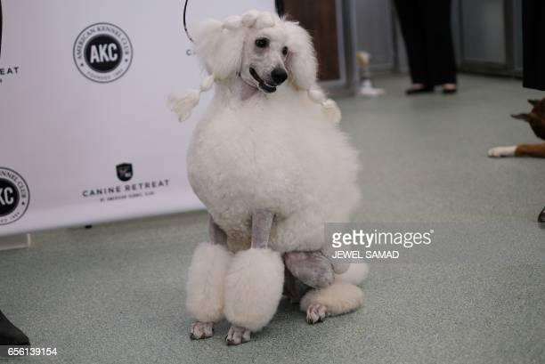A Poodle is pictured during a press conference by the American Kennel Club in New York on March 21 to announce America's top ten most popular breed...