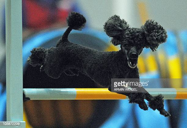 A poodle jumps over a hurdle during the socalled 'Agility World Championship 2010' on October 1 2010 in Rieden southern Germany Around 400 dogs and...