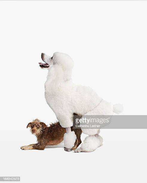 Poodle mating with mutt