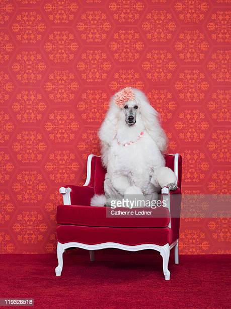 Poodle (Canis lupus familiaris) on couch