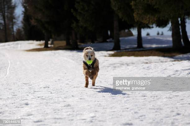 Poodle retrieving a ball in the snow