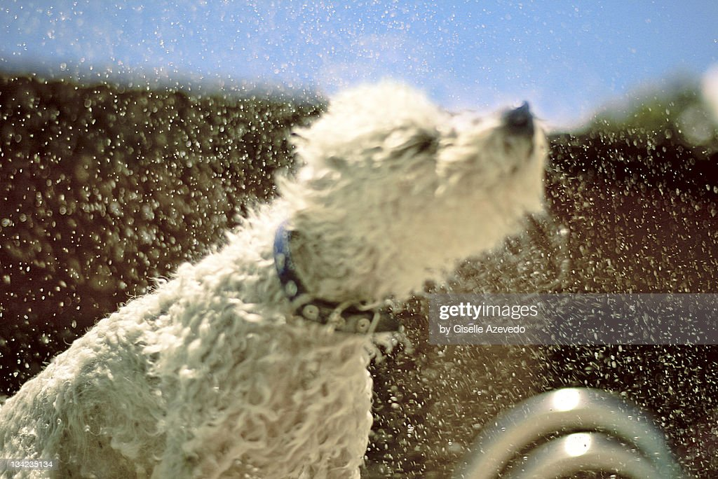 Poodle shaking water