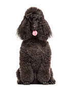 Poodle sitting in front of a white background