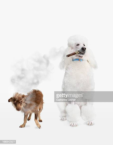 Poodle smoking Cigar with Mutt