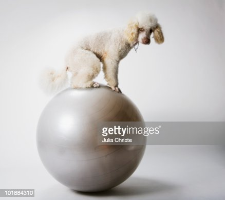 A Poodle standing on an exercise ball