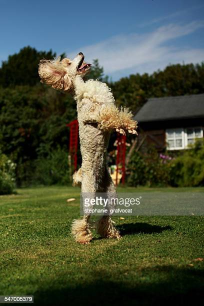 Poodle standing up