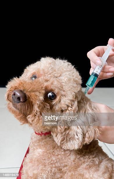 Pudel Impfung Aufnahme