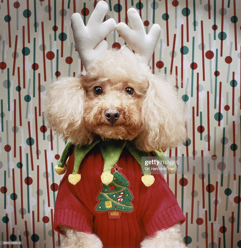 Poodle Wears Christmas Costume : Stock Photo