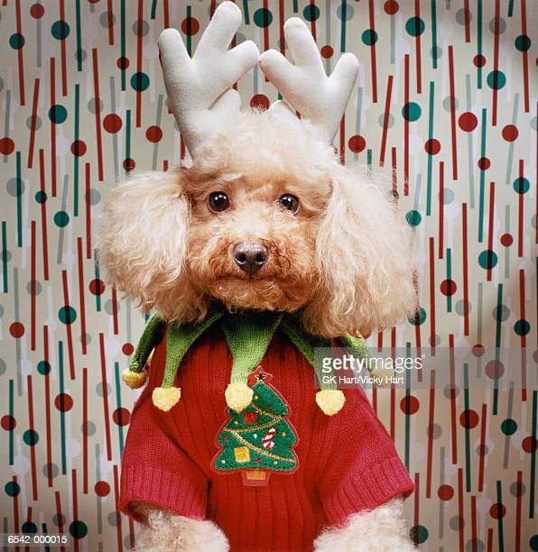 Poodle Wears Christmas Costume