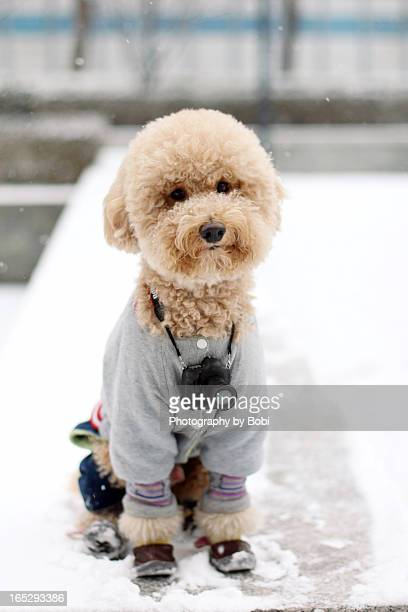 poodle with camera sitting in the snow in winter