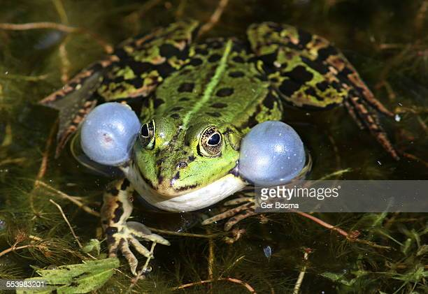 Pool Frog Inflatable