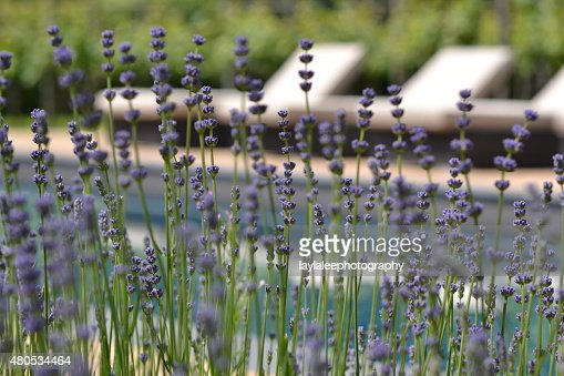 poolside lavender : Stock Photo