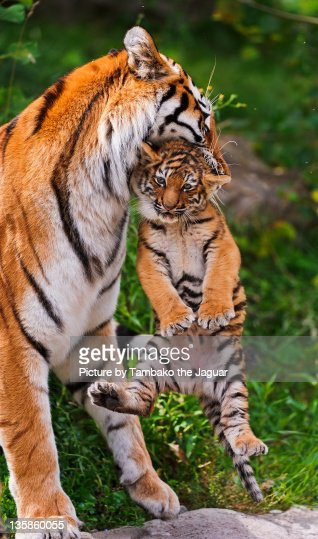 Poor cub being carried! : Stock Photo