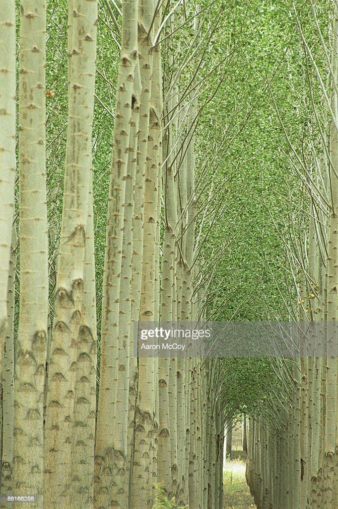 Poplar tree farm