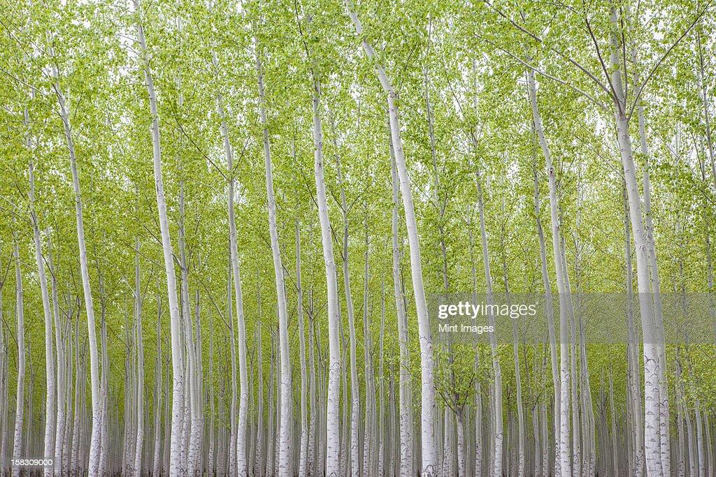 Poplar tree plantation, a tree nursery. Slender white trunks. Oregon, USA
