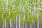 Poplar tree plantation, a tree nursery. Slender white trunks. Oregon, USA