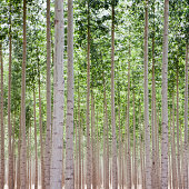 A poplar tree plantation near Pendleton in Umatilla county in Oregon.