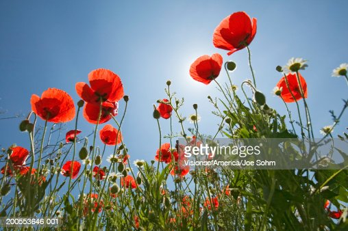 Poppies against blue sky, low angle view