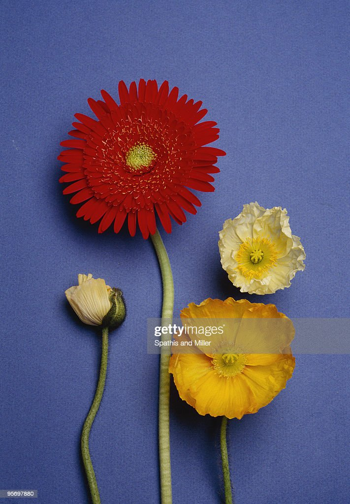 Poppies and gerbera daisies on blue : Stock Photo