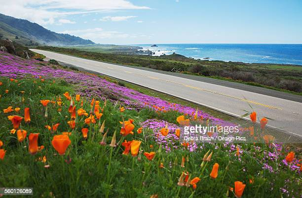 Poppies and ice plants bloom along the Big Sur Route 1
