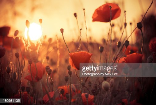 Poppies at Evening sunset