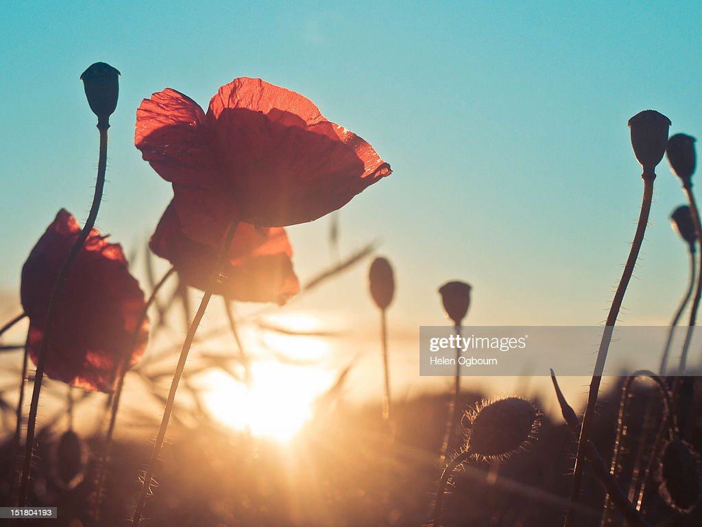 Poppies at sunset : Stock Photo