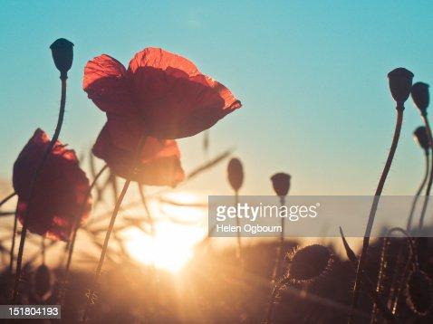Poppies at sunset : Stock Photo
