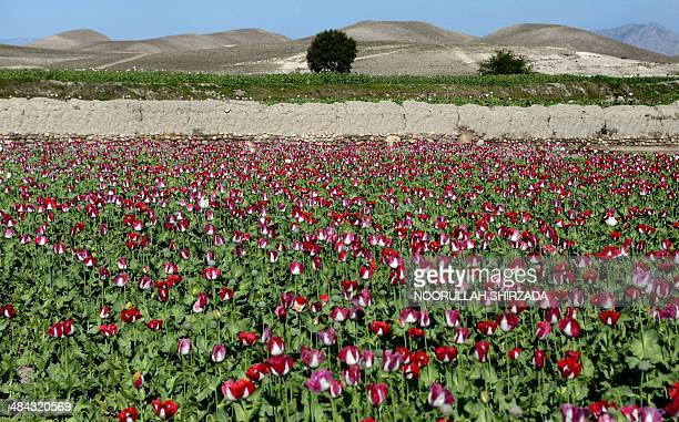 Poppies bloom in a field on the outskirts of Jalalabad capital of Nangarhar province on April 12 2014 Citing the United Nations Office of Drugs and...