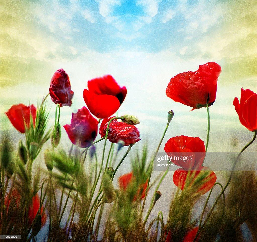 Poppies dance : Stock Photo