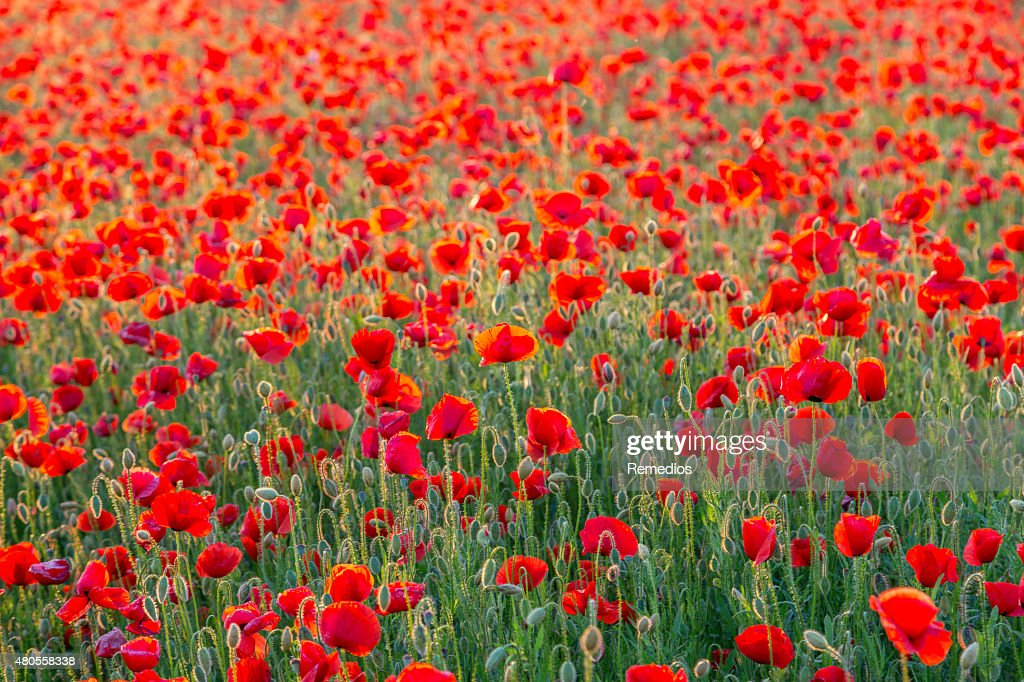 Poppies field meadow in summer : Stock Photo