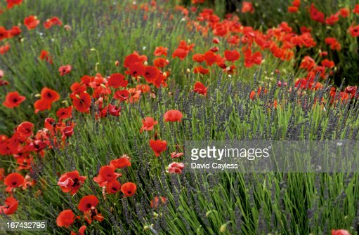 Poppies growing amongst Lavender : Foto de stock