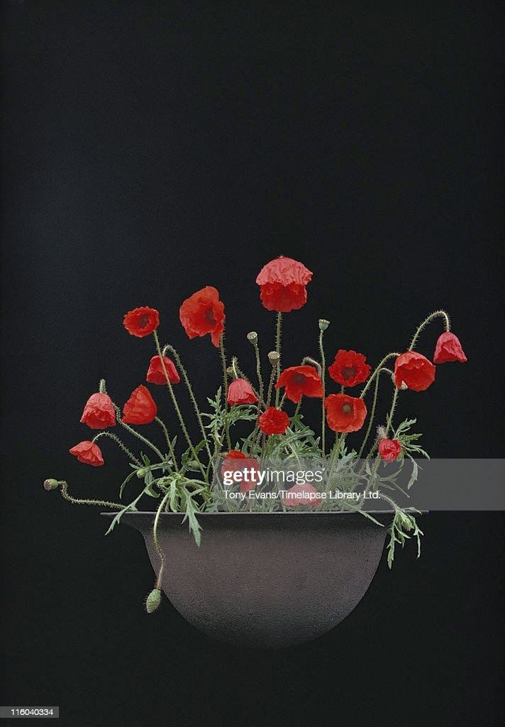 Poppies growing in a British soldier's helmet from World War I, 1978. After World War I, poppies began to be worn in remembrance of soldiers who had died in war.