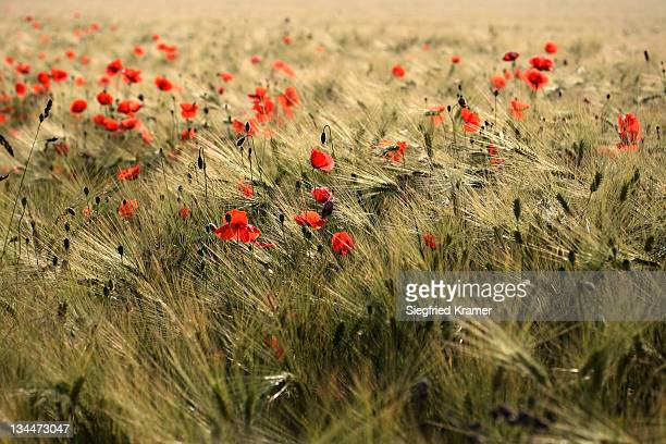 Poppies (Papaver) in a corn field
