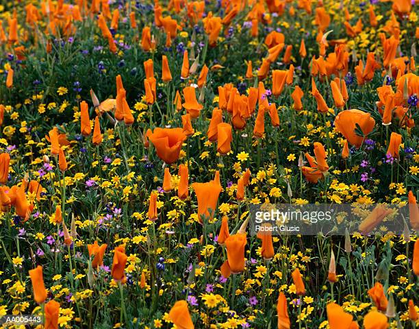 Poppies in Bloom in the Antelope Valley Reserve