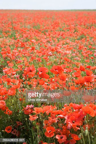 Poppies (Papaver sp.) in field (focus on foreground) : Stock Photo