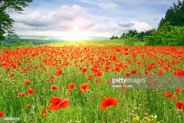 Poppies Landschaft